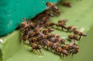 """Die Bienen laufen in die Beute ein. Der Weg wird Ihnen durch """"sterzelde"""" Bienen gezeigt."""
