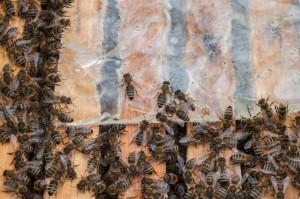 Füttern mit Ziplock-Beutel. Die Bienen sind auf dem Weg zum Futter.
