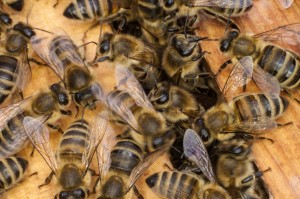 Bienen in Großaufnahme
