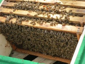 Mit Bienen voll besetzte Brutwaben