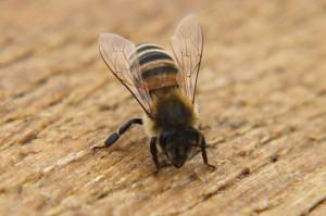 Eine Biene wärmt sich in der Mittagssonne