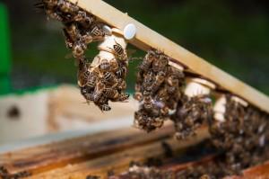 Zuchtlatte mit Weiselzellen und Pflegebienen
