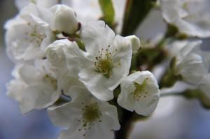 Die Kirschen blühen in voller Pracht