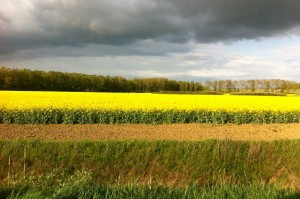 Ein Rapsfeld in voller Blüte