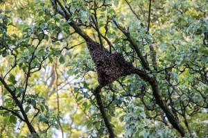 Der Schwarm hängt im Baum