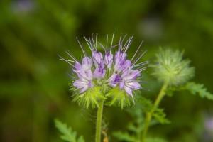 Eine wunderschöne Blüte der Phacelia
