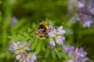Auch Hummeln werden von der Bienenweide angezogen