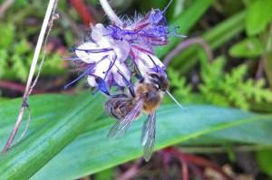 Eine fleißige Biene an einer Blüte der Phacelia.