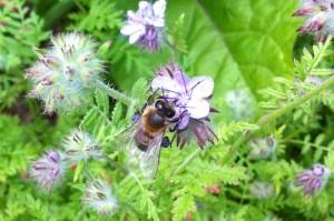 Eine Biene mit blauen Pollenhöschen.