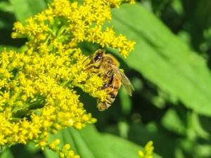 Eine Biene sammelt Nektar in der Goldrute.
