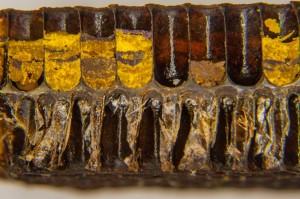 Pollenwabe im Längsschnitt