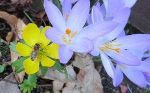 Die ersten Frühjahrsboten: Winterling und Krokusse