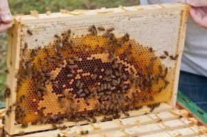 Eine Brutwabe mit einem dicken Futterkranz, darunter Pollen und Brut.