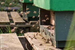 Starker Bienenflug am Flugloch