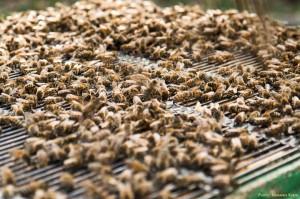 Viele Bienen auf dem Absperrgitter