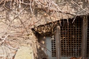 Die Bienen hängen im Kellerfenster. Auf dem Foto kann man ca. ein viertel des Schwarmes sehen.