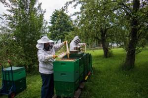 Abfegen der Honigwaben. Foto: J. Kurth