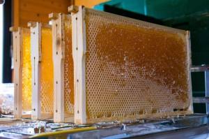 Fertig für die Schleuder! Entdeckelte Honigwaben. Foto: J. Kurth