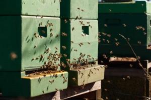 Unsere Bienen fliegen am Valentinstag 2015.