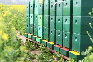 Unser Bienenstand im Rapsfeld.