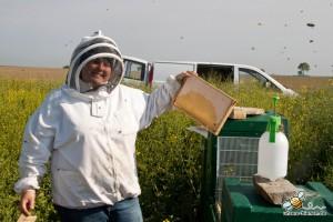 Die Honigwaben werden entnommen.