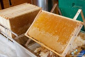 Entdeckelte Honigwaben