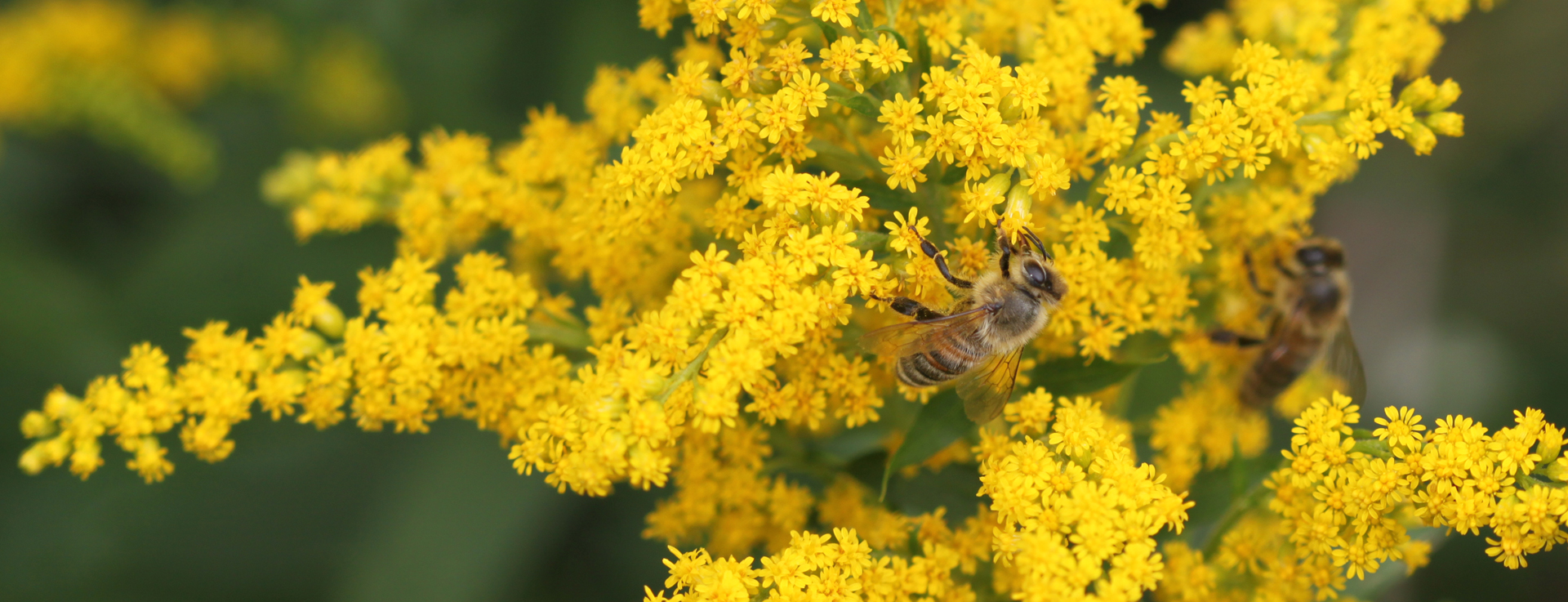 Bienen in der Goldrute